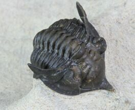Pseudocryphaeus minimus - Fossils For Sale - #87459