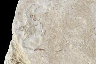 "Bargain, .9"" Jurassic Brittle Star (Sinosura) Fossil - Solnhofen For Sale, #86405"