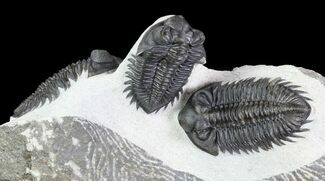 Triple Coltraneia Trilobite Association - Huge Faceted Eyes For Sale, #87581