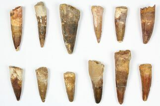 "Wholesale Lot: 1.5-2.5"", Bargain Spinosaurus Teeth - 12 Pieces For Sale, #87836"