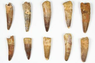 "Buy Wholesale Lot: 1.5-2.5"", Bargain Spinosaurus Teeth - 10 Pieces - #87850"