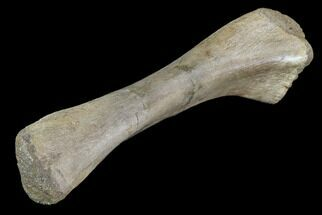 "Buy 6.5"" Fossil Dinosaur (Unidentified) Ulna - Hell Creek Formation - #87940"