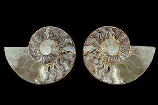 Cleoniceras - Fossils For Sale - #88200