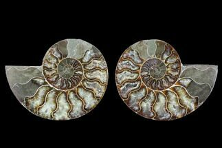 Cleoniceras - Fossils For Sale - #88215