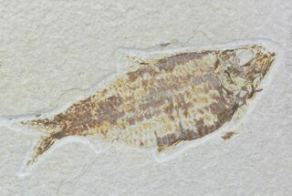 "4.6"" Detailed Fossil Fish (Knightia) - Wyoming For Sale, #88556"