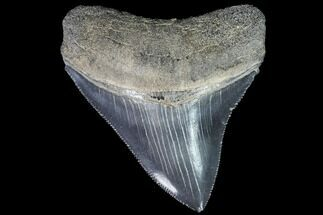 Carcharocles megalodon - Fossils For Sale - #88668