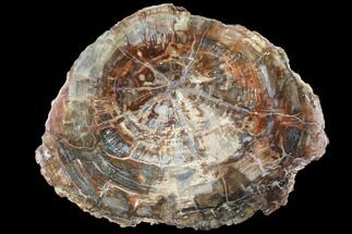 "15.7"" Colorful Petrified Wood (Araucaria) Round - Madagascar  For Sale, #88631"