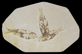 Three Knightia Fossil Fish - Wyoming For Sale, #88532