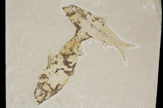 Two Knightia Fossil Fish - Wyoming For Sale, #88535