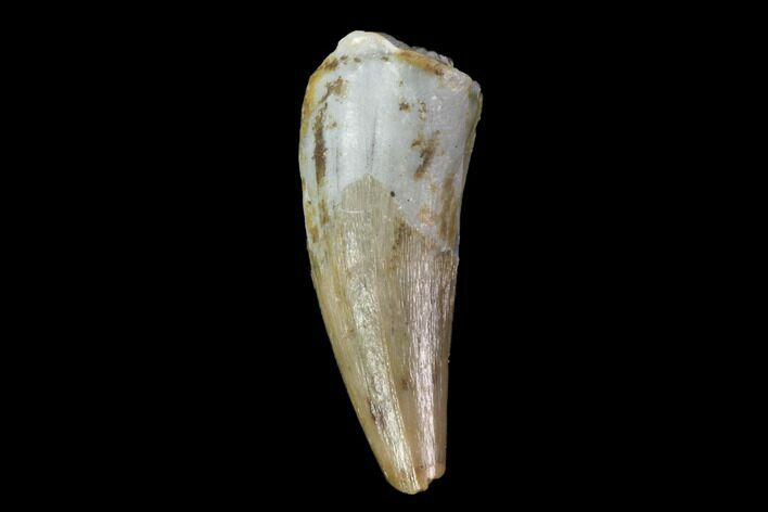 ".65"" Fossil Phytosaur Tooth - Arizona"
