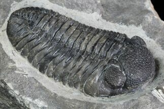 "2.4"" Pedinopariops Trilobite - Mrakib, Morocco For Sale, #88874"