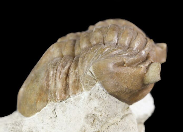 "1.8"" Asaphus (New Species) Trilobite - Russia"