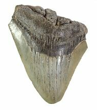 Carcharocles megalodon - Fossils For Sale - #89049