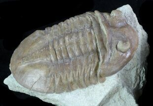 "2.2"" Asaphus (New Species) Trilobite - Russia For Sale, #89057"