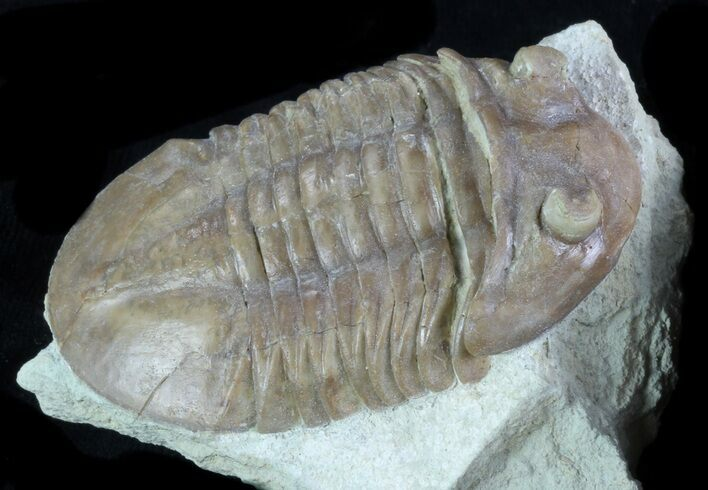 "2.2"" Asaphus (New Species) Trilobite - Russia"