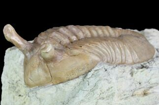 "1.6"" Stalk-Eyed Asaphus Kowalewskii Trilobite - Russia For Sale, #89075"