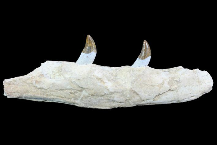 "10.1"" Archaeocete (Primitive Whale) Jaw Section - Basilosaur"