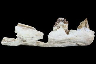 "9.2"" Archaeocete (Primitive Whale) Jaw Section - Basilosaur For Sale, #89258"