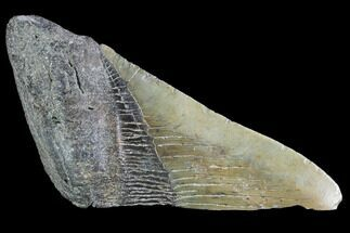 Carcharocles megalodon - Fossils For Sale - #89448