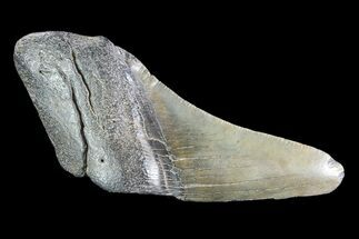 "4.35"" Partial Fossil Megalodon Tooth For Sale, #89465"