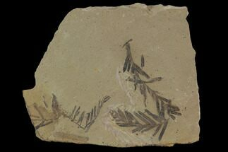 Buy Metasequoia (Dawn Redwood) Fossils - Montana  - #89374