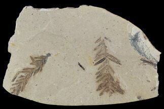 Metasequoia (Dawn Redwood) Fossils - Montana  For Sale, #89393
