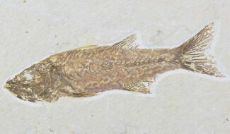 Mioplosus labracoides - Fossils For Sale - #89640