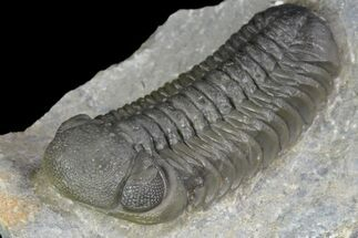 "2.4"" Detailed Austerops Trilobite - Ofaten, Morocco For Sale, #90017"