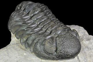 "2.2"" Detailed Barrandeops Trilobite - Beautiful Eyes For Sale, #90032"
