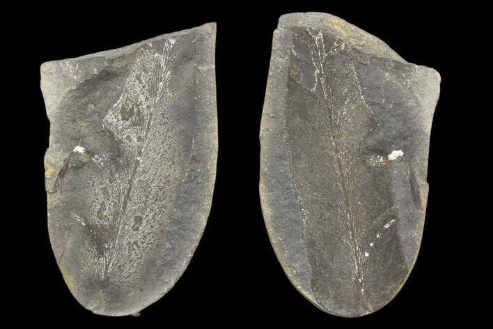 "3.3"" Fossil Neuropteris Seed Fern (Pos/Neg) - Mazon Creek"