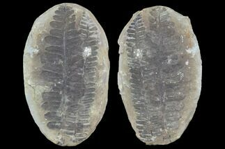 "3.9"" Pecopteris Fern Fossil (Pos/Neg) - Mazon Creek For Sale, #89891"