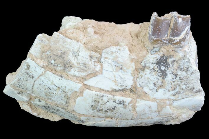 "4"" Running Rhino (Hyracodon) Jaw Section - South Dakota"