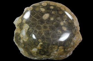 Actinocyathus sp. - Fossils For Sale - #90243