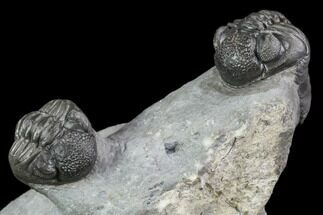 Three Phacops Araw Trilobites - Mrakib, Morocco For Sale, #90704