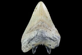 Carcharocles megalodon - Fossils For Sale - #91143