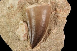 "1.9"" Mosasaur (Prognathodon) Tooth In Rock - Beautiful Tooth For Sale, #91352"