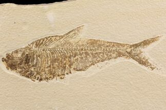 "7.3"" Diplomystus Fossil Fish - Wyoming For Sale, #91577"
