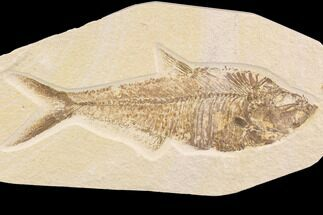 "9.3"" Diplomystus Fossil Fish - Wyoming For Sale, #91580"