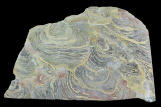 "6"" Polished Stromatolite From Russia - 950 Million Years For Sale, #91808"