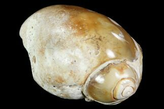 "1.9"" Chalcedony Replaced Gastropod Fossil For Sale, #91821"