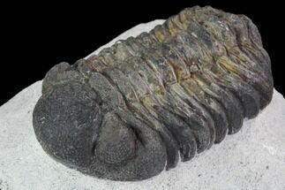 "Buy Bargain, 1.9"" Barrandeops Trilobite - Visible Eye Facets - #91915"