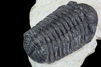 "Bargain, 1.9"" Barrandeops Trilobite - Morocco For Sale, #91916"