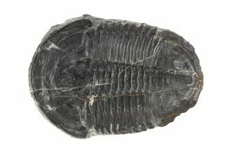 "1.68"" Asaphiscus Trilobite On Calcite Wafer - Utah For Sale, #91886"