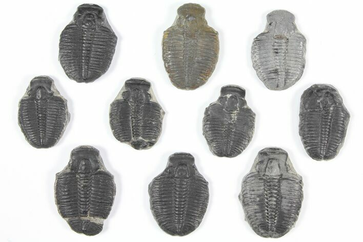 "Wholesale Lot: 1-1.25"" Elrathia Trilobite Molt Fossils - 10 Pieces"