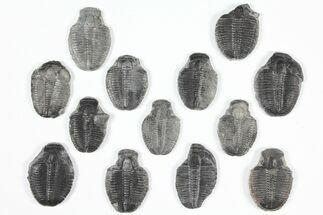 Elrathia kingii - Fossils For Sale - #92118