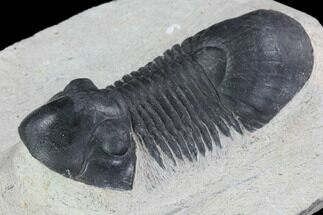 "Bargain, 2.85"" Paralejurus Trilobite Fossil - Ofaten, Morocco For Sale, #92132"