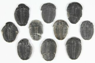 "Wholesale Lot: 1.25 to 1.5"" Elrathia Trilobite Fossils - 10 Pieces For Sale, #92129"