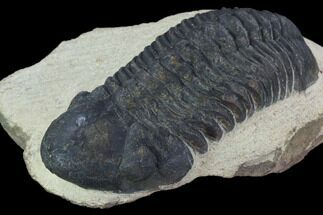 "Bargain, 2.65"" Reedops Trilobite - Laatchana, Morocco For Sale, #92330"