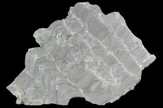 "7.3"" Polished Stromatolite (Kussiella) Slab - Russia For Sale, #91811"