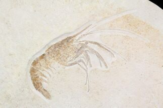 "7"" Huge, Fossil Shrimp (Aeger) - Solnhofen Limestone For Sale, #92462"